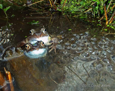 Female frogs lay frogspawn in spring